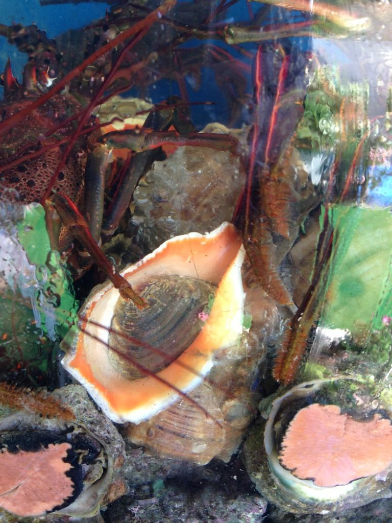 刺身用のアカニシ貝が入りました。岩牡蠣はまだ入荷いていません。