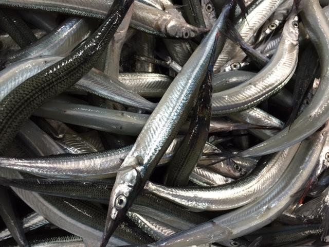 今日はサヨリが大漁でした。脂がのってきてるのでツルッと美味しいです。